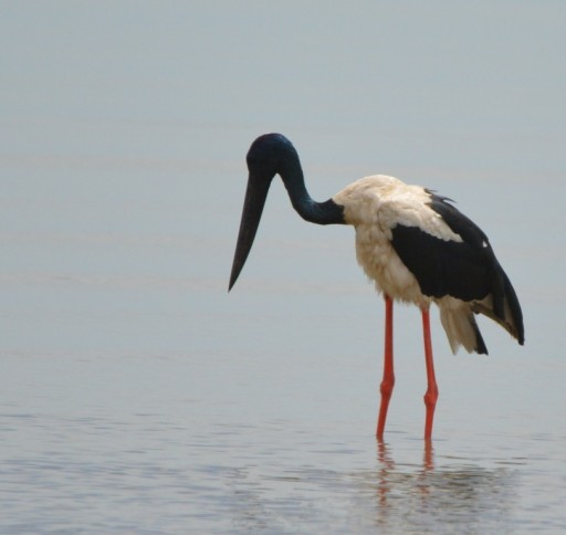 Jabiru or Black-necked stork, Cairns Esplanade.