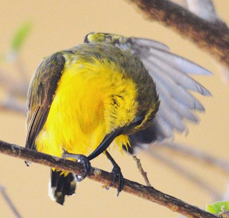 A female sunbird preens herself after bathing.