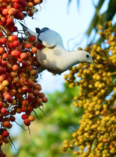 A Torresian imperial dove eating Carpentaria palm fruits.