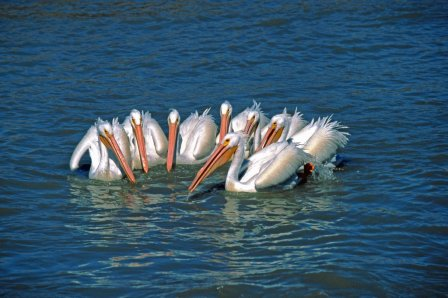 Pelicans circle around a schoolf fish to contrate them into a smaller area, so they are easier to catch. Photo: Panaramio.com.