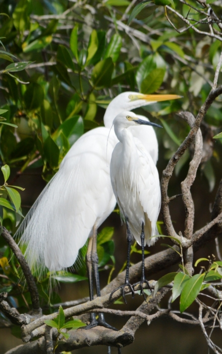 Egret buddies (two different species) Saltwater lake, Cairns. Photo: David Clode.