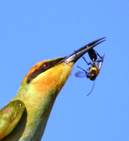 A Rainbow Bee-eater has caught a wasp. Photo: David Clode.