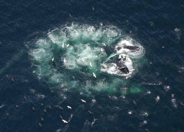 Humpback whales, bubble-net fishing. Photo: Risser,edu.blogs.org.