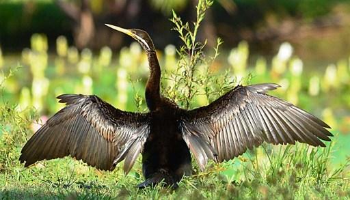 A Daretewr dries its wings between fishing trips. Freshwater lake.