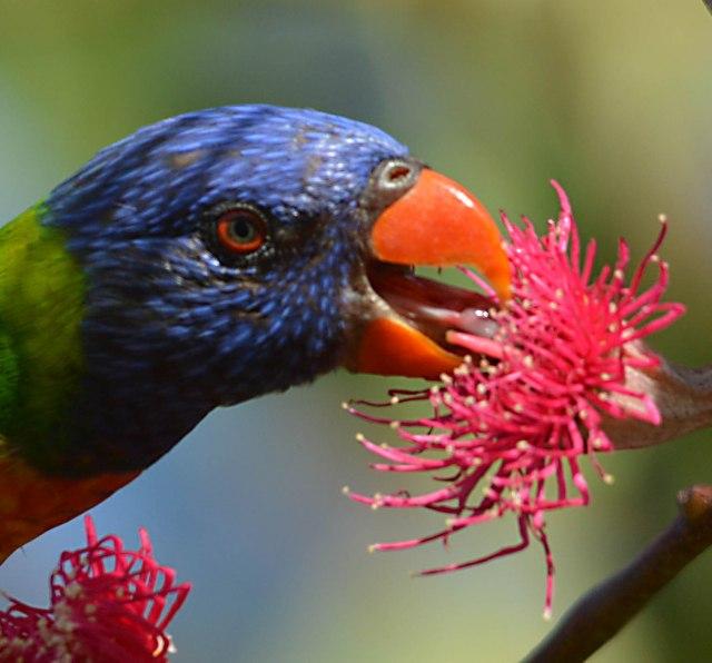 A Rainbow Lorikeet drinks nectar from a eucalyptus flower. Photo: David Clode.