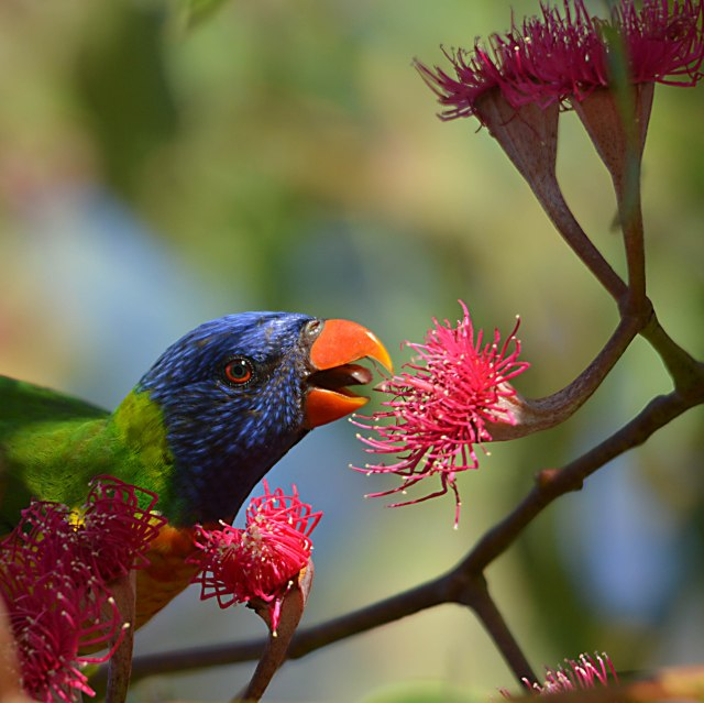 A rainbow Lorikeet about to drink nectar from a Eucalyptus ptychocarpa flower. Photo: david Clode.