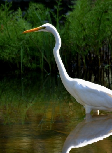 A Greater Egret fishing. Freshwater lake, Cairns.