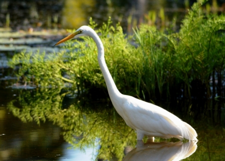 Greater Egret looking for fish.