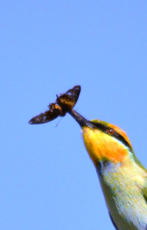 A Rainbow Bee-eater has caught a moth. Cairns cemetery. Photo: David Clode.