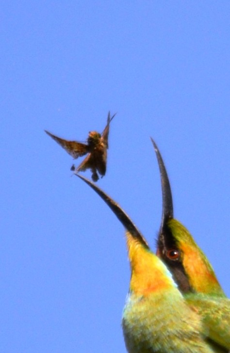 A rainbow Bee-eater tosses a moth around in the air, to change the position of the moth in its beak. Photo: David Clode.