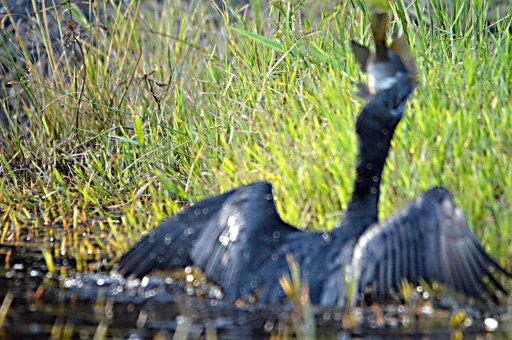 """Got one!"" A Little Black Cormorant catching a fish. Freshwater lake, Centenary Lakes, Cairns. Photo: David Clode."