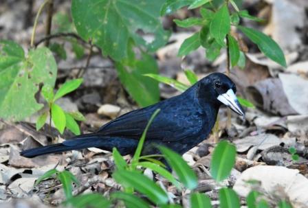 Butcher bird. Freshwater lake, Cairns.