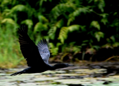 Little Black Cormorant. Freshwater lake ,Cairns.