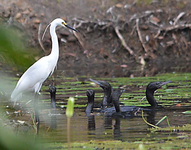 Little Black Cormorants and a Plumed egret fishing together. Freshwater lake, Cairns.