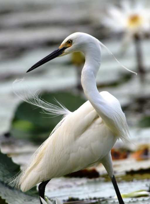 An egret notices something in the opposite direction, and swirls around to try and catch it.