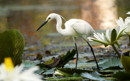Egret, Centenary lakes. Cairns. Photo: David Clode.