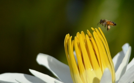 A bee comes to a water lily flower for nectar and pollen. Freshwater Lake, Cairns.
