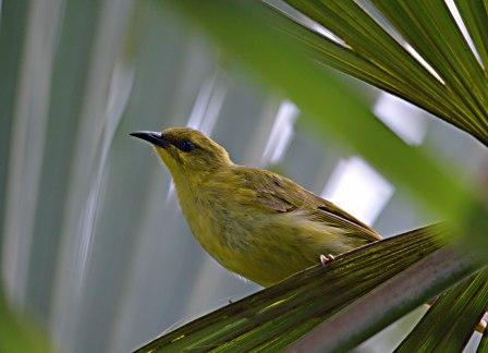 Yellow Honeyeater. Freshwater Lake, Centenary lakes, Cairns. Photo: David Clode.