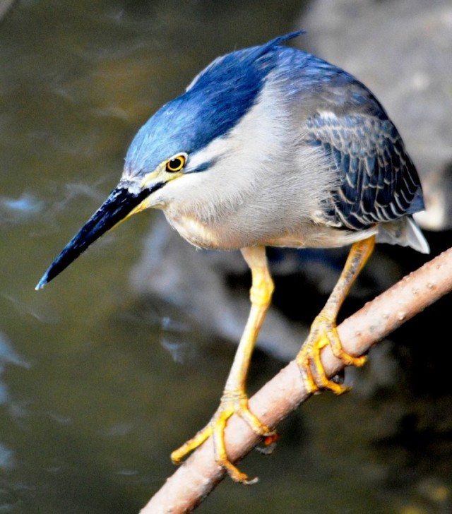 Focus - Mangrove Heron. Photo: David Clode.