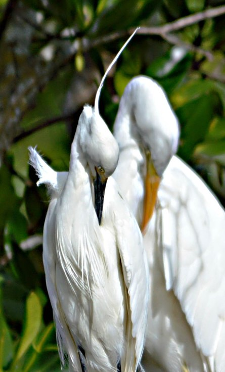 Preening together.
