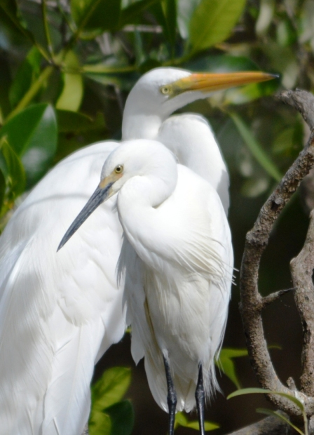 Egret mates. Photo: David Clode.