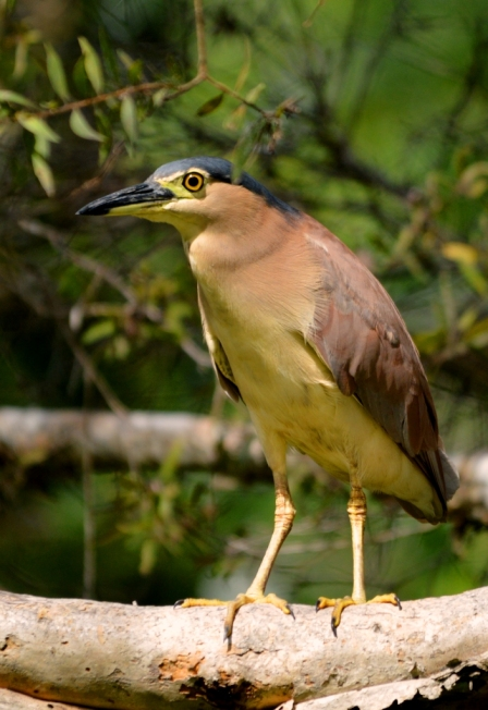 Nankeen night Heron. Small wetalnd, West of Cairns cemetery. Photo: David Clode.