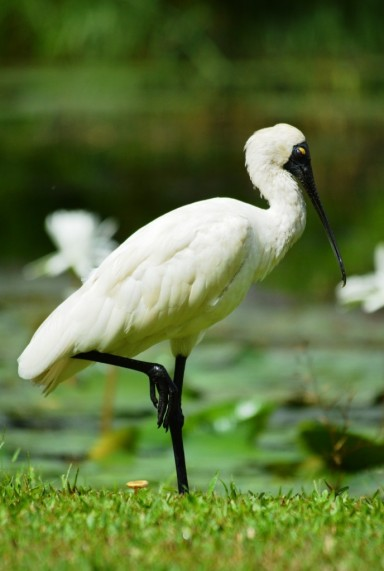 Royal Spoonbill posing with one leg up.
