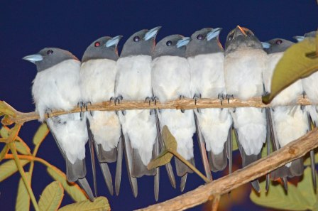 Woodswallows. Photo: David Clode.