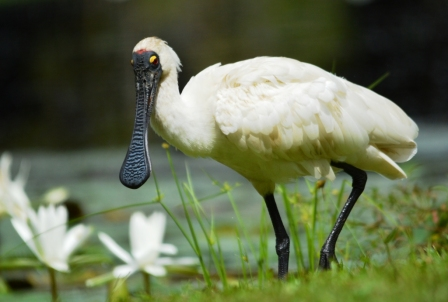 Royal Spoonbill and waterlilies.