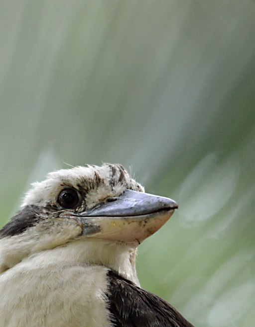 Kookaburra - palm frond background.
