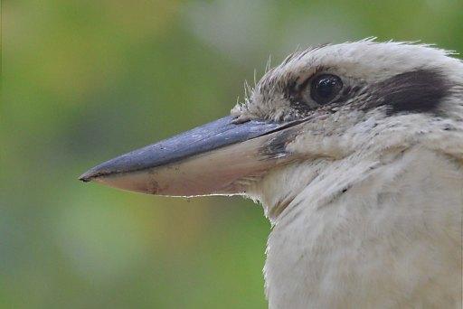 Kookaburra. photo: David Clode.