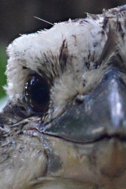 Kookaburra eye. Photo: David Clode.