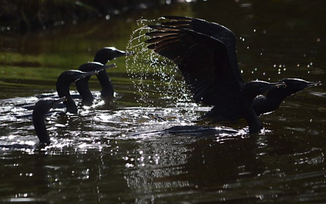 The team flies off to try another fishing spot. Little Black Cormorants, Saltwater Lake. Cairns. Photo: David Clode.