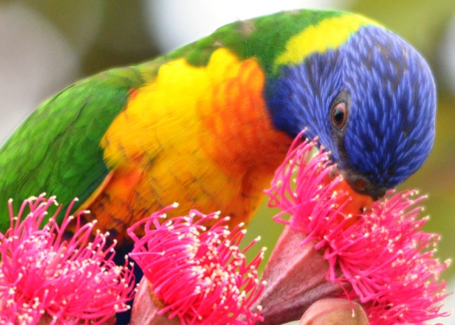 Rainbow Lorikeet drinking nectar from a Swamp Bloodwood tree (Eucalyptus ptychocarpa). Cairns. Photo: David Clode.