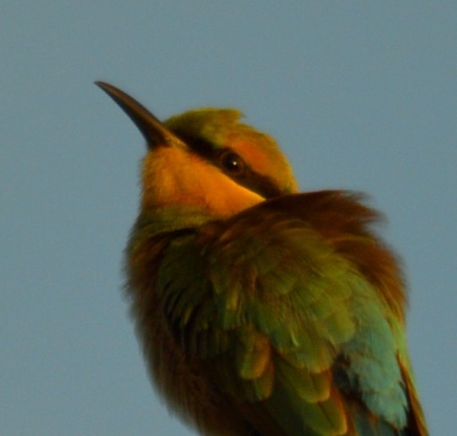 A Rainbow Bee-eater warms up in the early morning sunshine. Photo: David Clode.