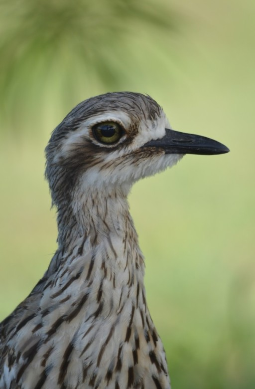 Bush-stone Curlew, green background. Cairns cemetery. Photo: David Clode.