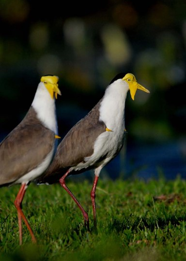 Spur-winged Plovers (also called Masked Lapwings), showing fleshy wattles and spurs on wings.