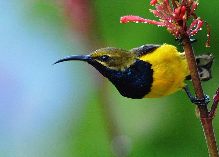 Male Yellow-bellied sunbird.
