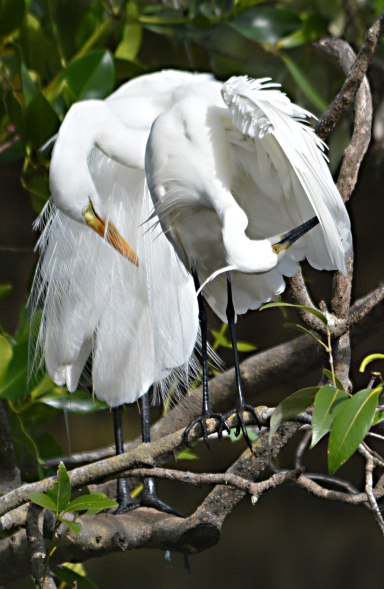 A Plumed or intermediate egret and a Little egret sit together and preen themselves. saltwater lake, cairns. Photo: David Clode.