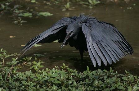 A Black heron canopy feeding (The wings cast a shadow and small fish come to the shadow, thinking they are swimming to safety. Photo: Wikipedia.