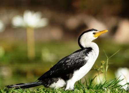 A Little Pied Cormorant.