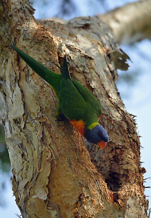 A Rainbow Lorikeet guards its nesting hollow in a Melaleuca leucadendra tree. Photo: David Clode.