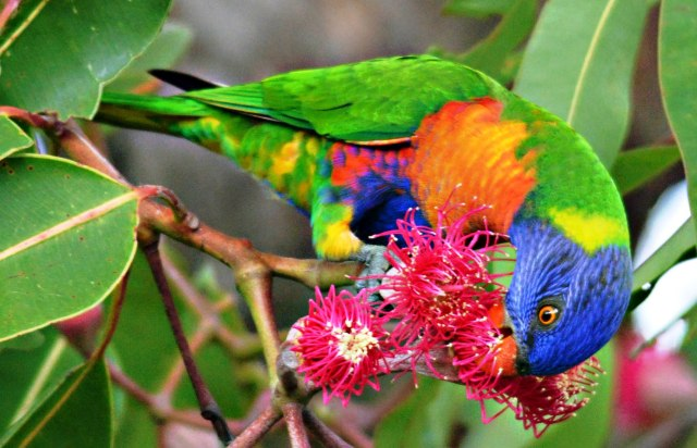 Rainbow Lorikeet. Photo: David Clode.