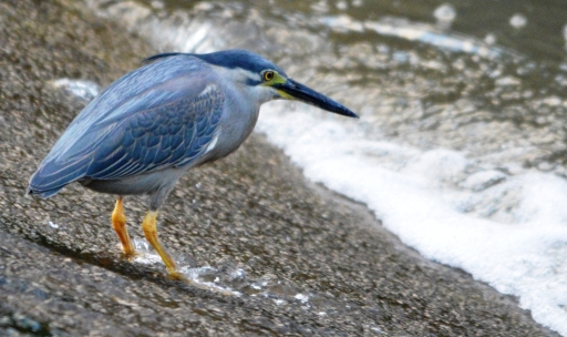 A mangrove heron wiais patiently at a causeway for fish.