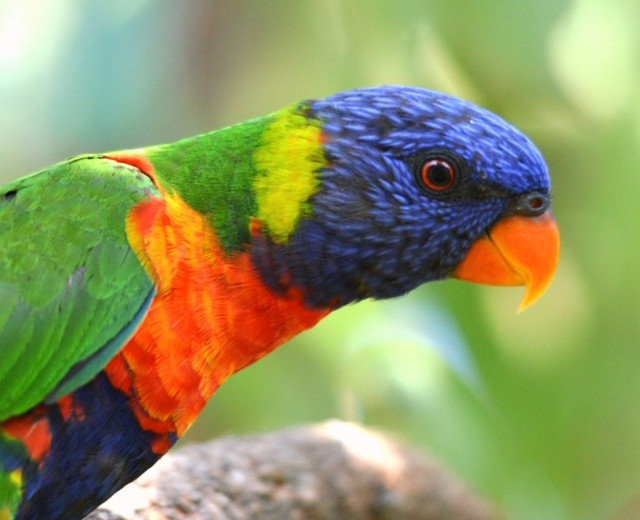 Rainbow Lorikeet. Saltwater Creek. Photo: David Clode.