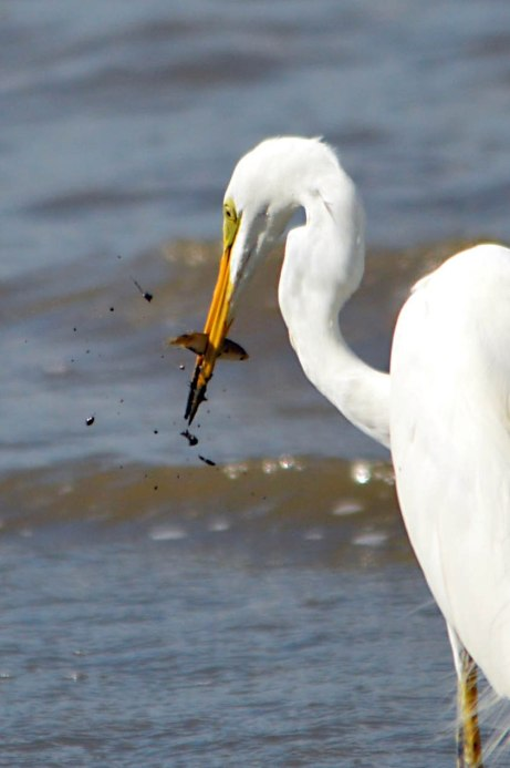 A great Heron has caught a fish. Cairns Esplanade. Photo: David Clode.