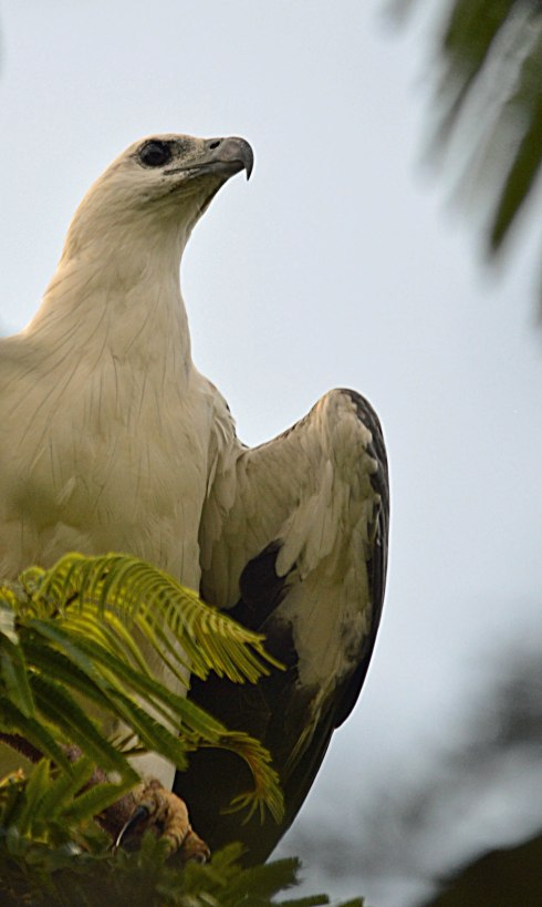 White-bellied Sea Eagle, Cairns. Photo: David Clode.