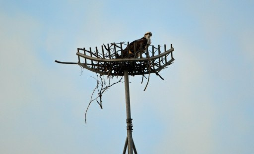 An Osprey is strating to build a nest. Originally, a pair of ospreys built their nest on the top of the Cairns Ambulance Station communications tower, and the nest was interfering with the signals. This structure was placed on top of the tower for the nest. The ospreys carried on without batting an eyelid. Photo: David Clode.