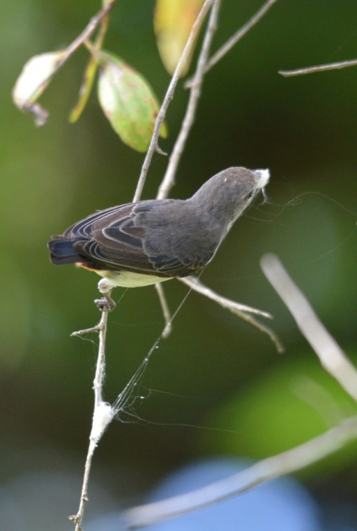 A female mistletoe bird collects cobweb to build her nest. Cairns Cemetery. Photo: David Clode.