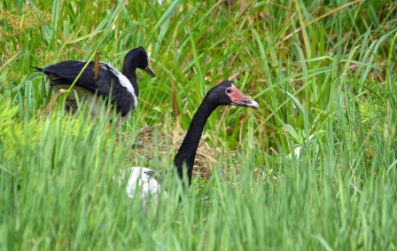 """""""Changing of the guard"""". Magpie Geese. Freshwater Lake. Photo: David Clode."""